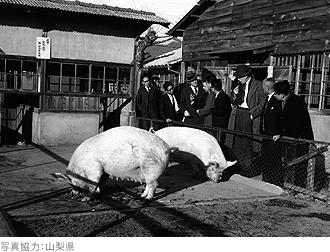 IMG:アイオワから空を飛んできた35頭の豚たち/50年前の豚