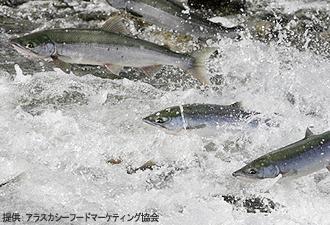 IMG:新巻鮭とWild Salmon(イメージ)