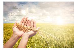 収穫時期稲穂(イメージ)